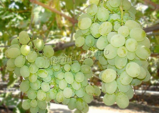 Виноград Восторг: описание сорта, фото, отзывы