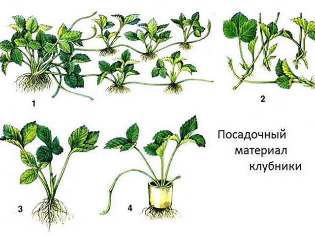 Клубника Слоненок: описание сорта, фото, отзывы садоводов