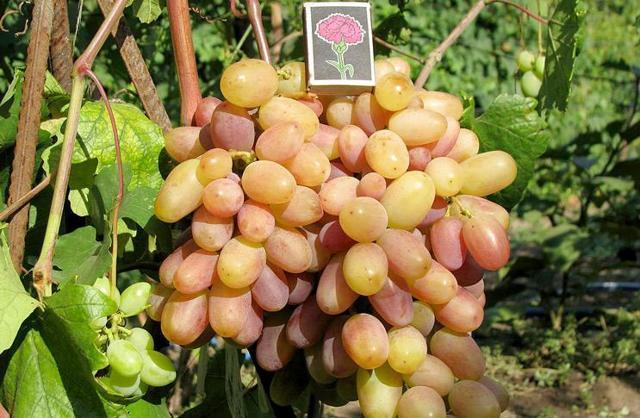 Виноград Сенсация: описание сорта, фото, отзывы, видео