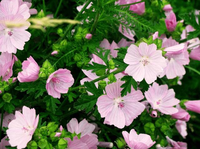 Лаватера: садовая роза + фото