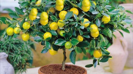 Как поливать лимон в домашних условиях: сколько раз в неделю и чем