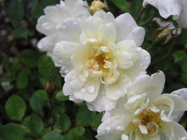 Миниатюрные розы + фото