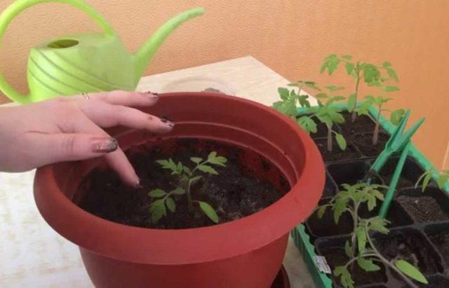 Зачем нужно пикировать рассаду помидор