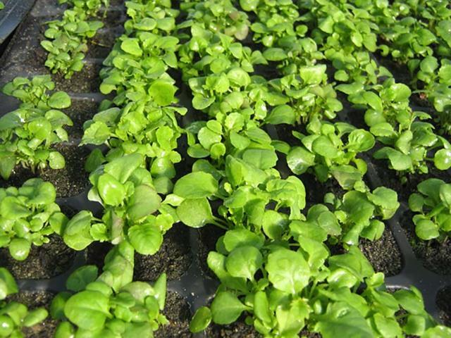 Лобелия: выращивание из семян, когда сажать на рассаду