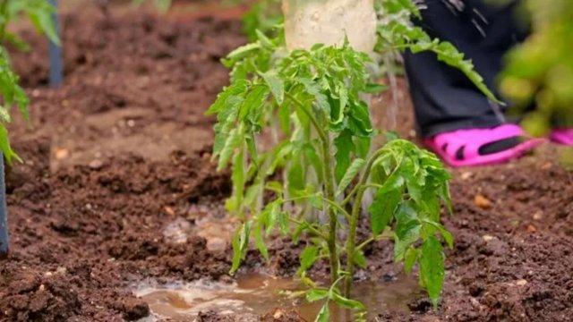 Подкормка помидоров коровяком
