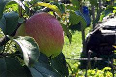 Яблоня Услада: описание, фото, отзывы садоводов, посадка, опылители