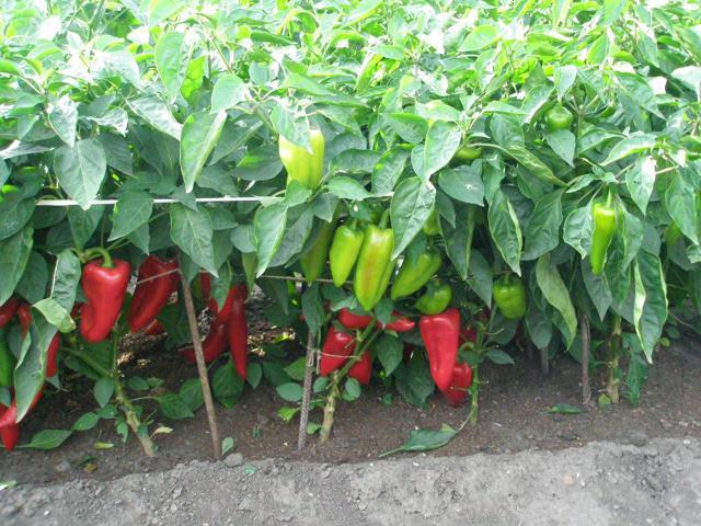 Удобрения для перца при выращивании в открытом грунте