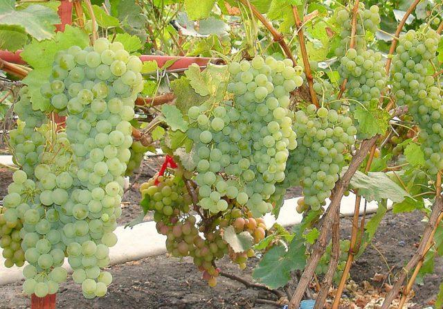 Сорт винограда Ркацители Магарача: описание, фото