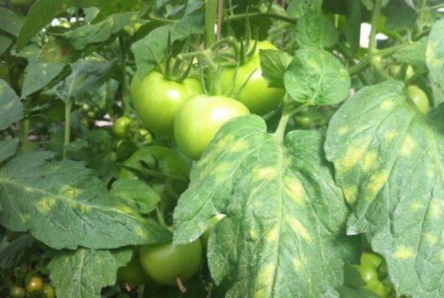 Пятна на рассаде томатов