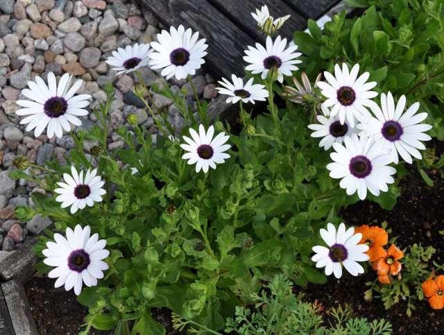 Неприхотливые однолетники, цветущие все лето без рассады