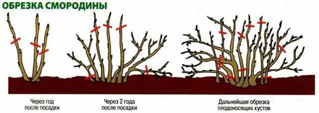 Смородина Лентяй: описание сорта, фото, отзывы
