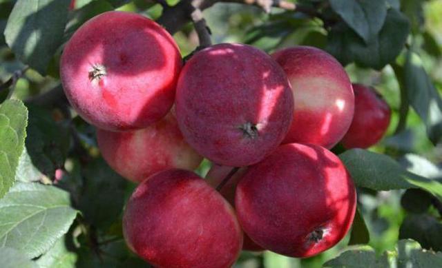 Яблоня Заветное: описание сорта, фото, отзывы, посадка