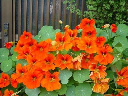 Как собрать семена настурции в домашних условиях: правила сбора и хранения.