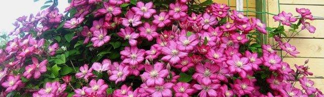 Подкормка клематисов весной: чем подкормить для пышного цветения
