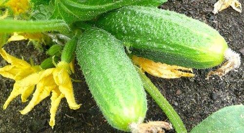 Огурец мадрилене f1: описание сорта, выращивание, отзывы, фото