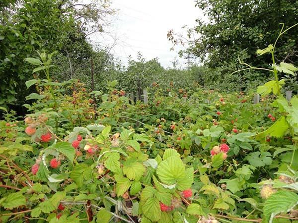 Посадка малины осенью: как и когда лучше пересаживать, как рассадить