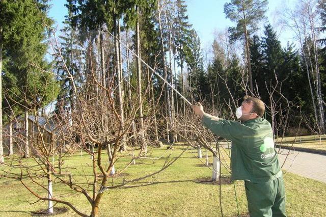 Почему груши гниют на дереве: что делать, если плоды трескаются, гниют на ветке изнутри, опадают
