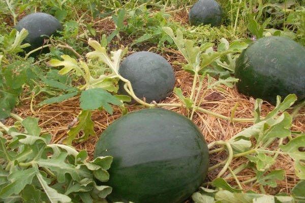 Выращивание арбузов в теплице: сорта, посадка и уход
