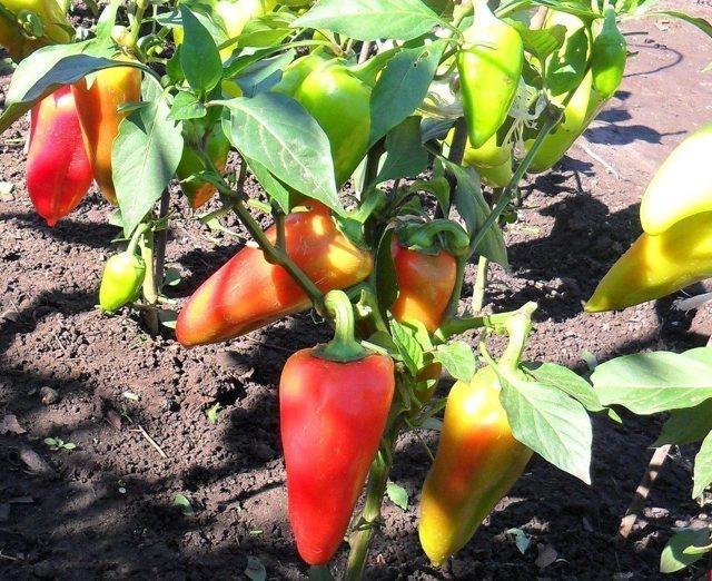 Внекорневые подкормки при выращивании перца