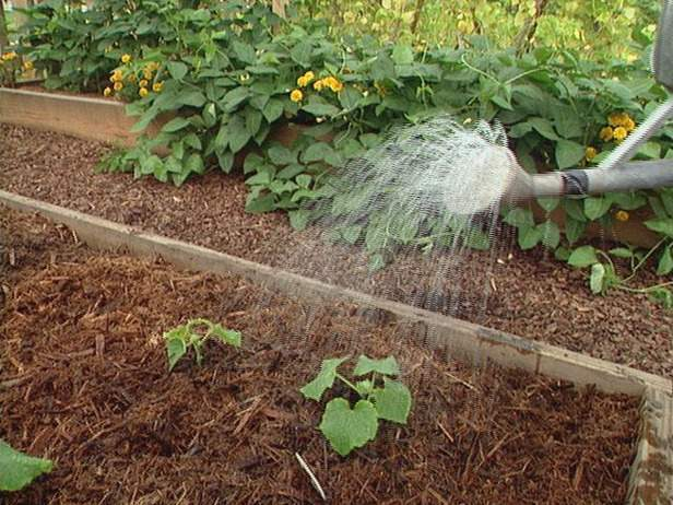 Огурец Лютояр f1: технология выращивания, урожайность, отзывы, фото