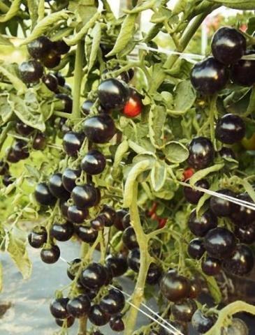 Томат Черная гроздь: характеристика и описание сорта