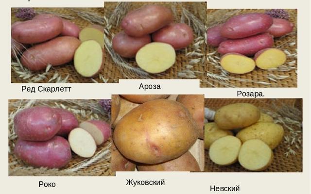 Картофель Ароза: описание сорта, фото, отзывы