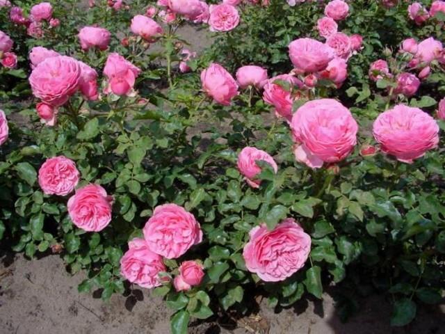 Посадка роз осенью: как правильно сажать, с корнями, саженцами, сроки