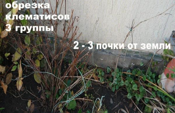 Клематисы 3 группы обрезки: лучшие сорта с фото
