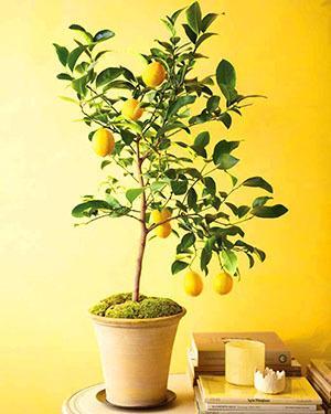 Как вырастить лимон из косточки дома: посадка семечек, плодоношение, советы