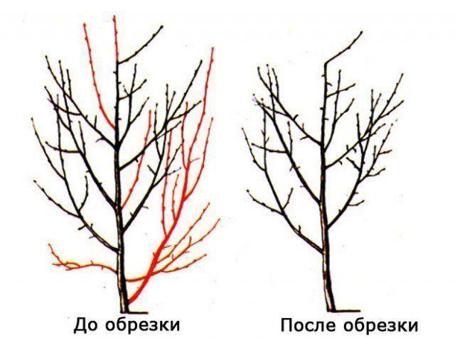 Обрезка сливы осенью: схема, сроки, советы для начинающих