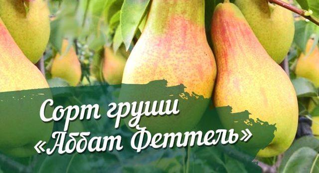 Груша Аббат Феттель (Фетель): описание сорта, фото, отзывы, калорийность, выращивание в Подмосковье