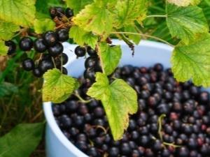 Почему не плодоносит красная и черная смородина: не цветет, нет ягод, причины и что делать