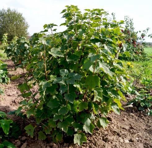 Чем обработать смородину осенью: способы защиты от болезней и вредителей