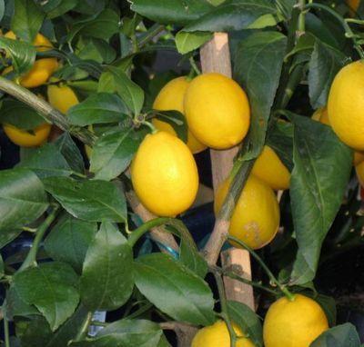 Лимон мейера описание с фото для начинающих