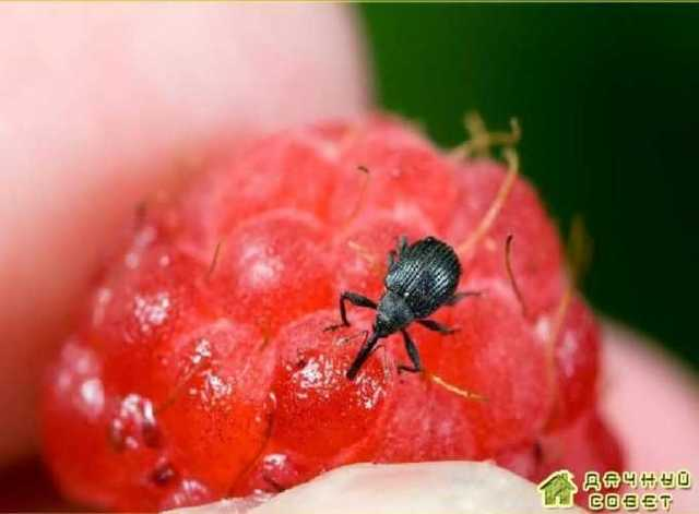 Вредители и болезни малины