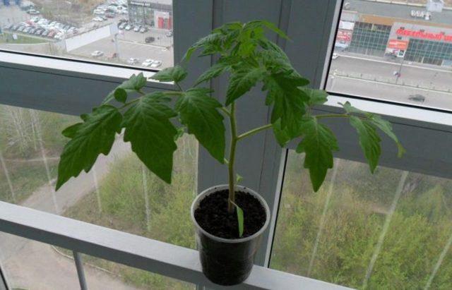 Температура выращивания рассады томатов