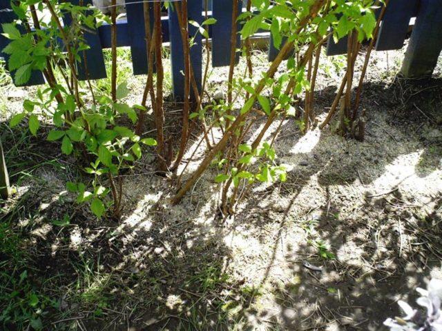 Подкормка малины в августе и осенью