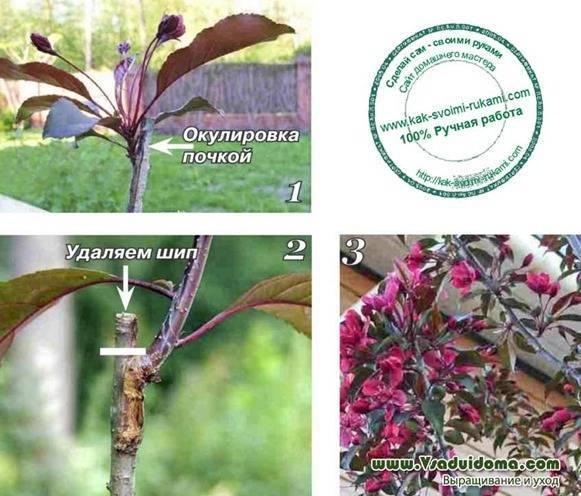 Яблоня Недзвецкого: описание, фото, посадка, размножение, отзывы