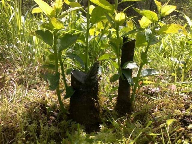 Как избавиться от поросли сливы навсегда: в саду, в огороде, на дачном участке
