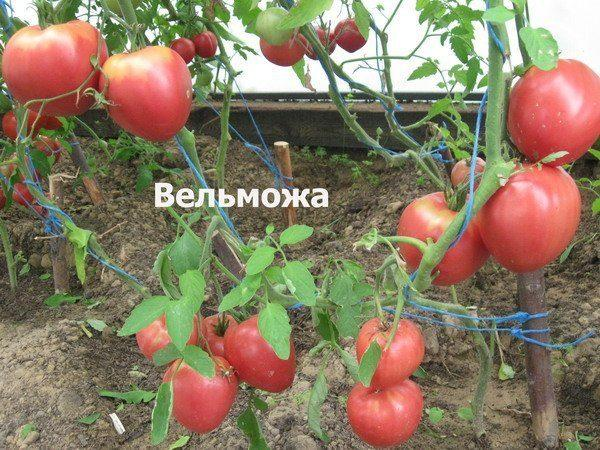 Томат Вельможа: описание сорта, фото, отзывы, урожайность