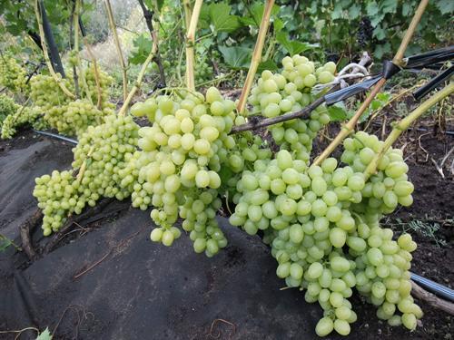 Виноград Аркадия: описание сорта, фото, отзывы, видео