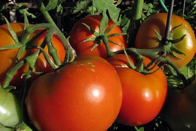 Правильная подкормка томатов во время цветения