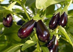 Лунный календарь для посева баклажанов на рассаду