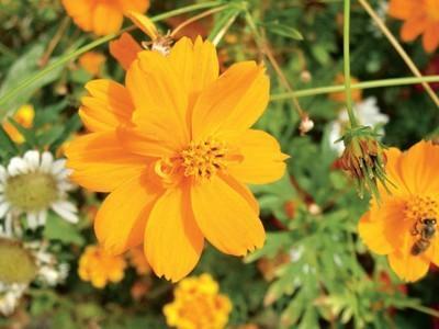 Космея: выращивание из семян, когда сажать