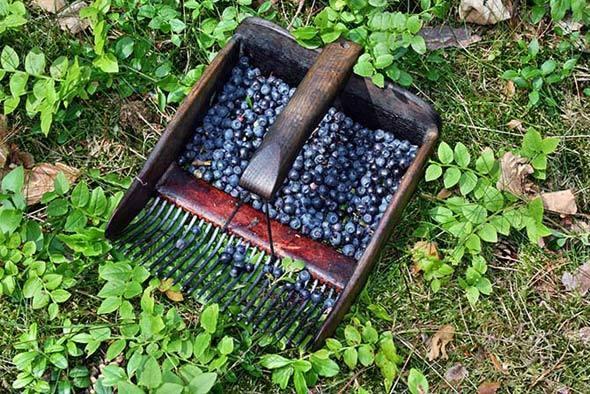 Черника садовая: посадка и уход, фото, отзывы, сорта, как вырастить из семян