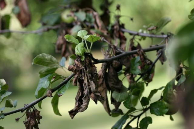 Почему сохнет молодая груша: причины, меры борьбы и профилактики