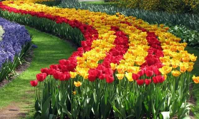 Посадка тюльпанов осенью в Подмосковье, Сибири, на Урале