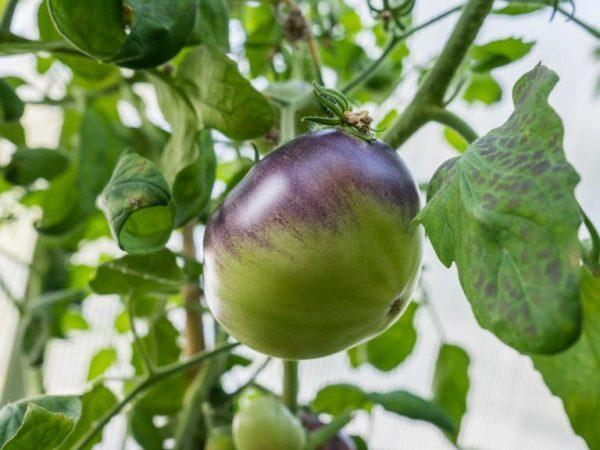 Томат Сержант Пеппер (sgt. pepper): характеристика и описание сорта, отзывы, фото