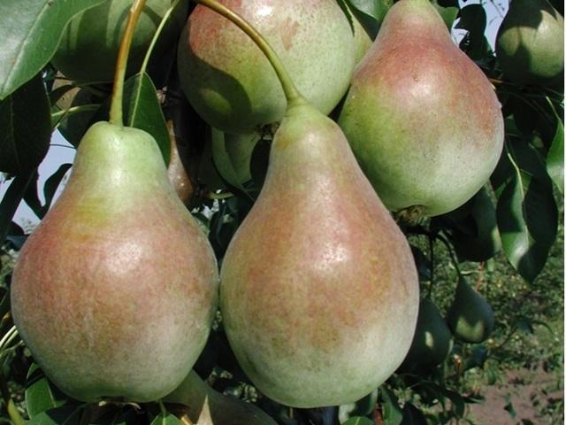 Груша Аллегро: описание сорта, фото, отзывы, высота кроны, вкус, опылители, выращивание