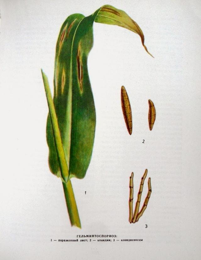 Кукуруза: болезни и вредители, описание, лечение, фото